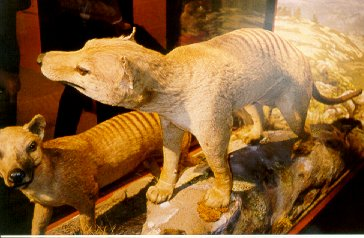 Image of two preserved thylacines courtesy of Melbourne Museum
